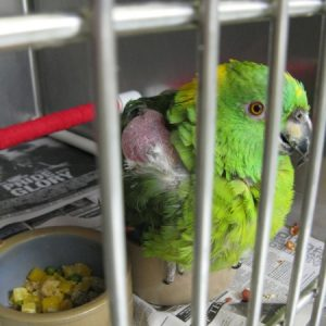 A green mickaboo named cappi sitting in his cage and being treated