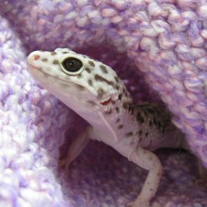 Gabriel the leopard gecko tries to blend into his surroundings.