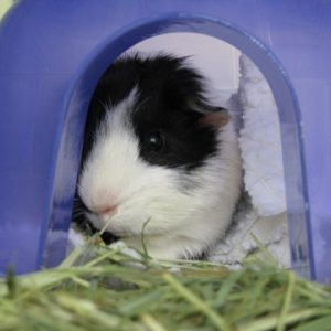 Jewels, the black and white guinea pig, is resting in her igloo after lunch.
