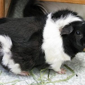 A black and white guinea pig named Wilkins