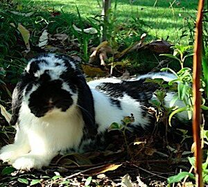 A black and white spotted bunny named Booey enjoying laying outside