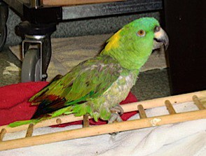 Paco, an elderly Amazon with heart troubles, exercises on his ladder.