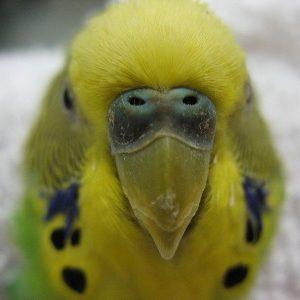 A white and blue bird named Vesper investigating the camera