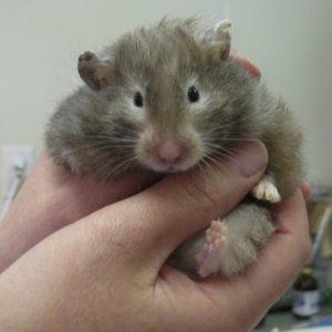 A grey teddy bear hamster