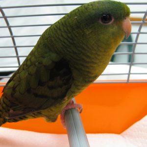 A green lineolated parakeet named Bernice