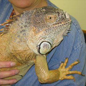 An iguana named Eldridge