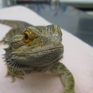 Greg the lizard who is yellow and brown and spiky