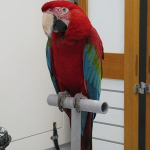 A red, green and blue green winged macaw named rico