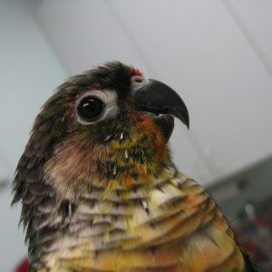 A green cheeked conure named Fifi