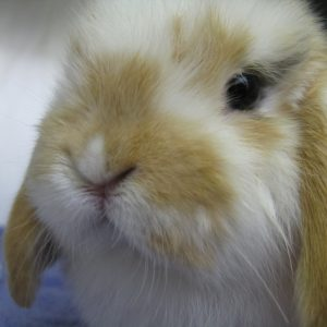 A fuzzy brown and white bunny
