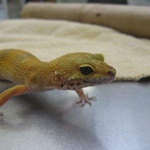 A yellow leopard gecko walking around on the exam table