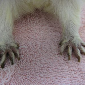 A white guinea's pigs toes