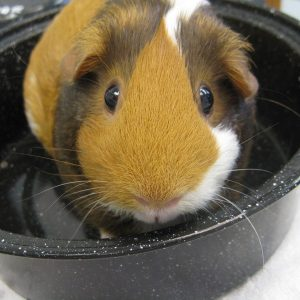 An orange, black and white Guinea pig sitting in a black bowl