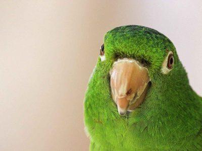 A green bird looking at the camera